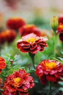 Marigold Flowers aka Chornobryvci by olgasart