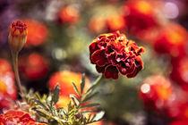 Marigold Flowers aka Chornobryvci von olgasart