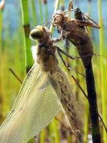 schlüpfende libelle by andrea martinek