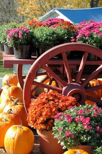 Pumpkins and Mums by O.L.Sanders Photography