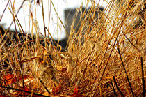 Golden Grass ~ bebra von bebra