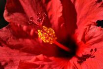 Hawaiian Rouge Hibiscus von Chris Frost