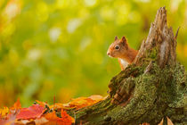 Red Squirrel Peek-a-boo by Richard Winn