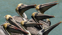 Pelicanos by with-your-eyes
