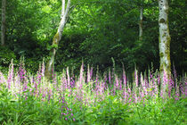 Foxglove Glade by Roger Butler