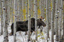 Bull Moose in Autumn Forest von Leland Howard