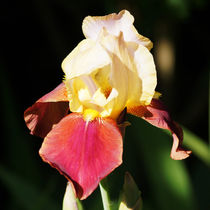 Irisblüte gelb und rot, Iris flower yellow and red by Sabine Radtke