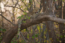 Leopard in tree by Johan Elzenga
