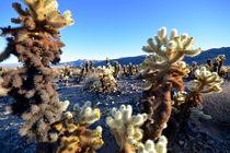 Teddybaer Cactus Feld in Cholla Garden von Martin Pepper