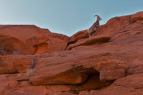 Dickhornschaf im Valley of Fire by Martin Pepper