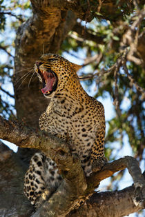 Hissing leopard on the tree in the Masai Mara von Maggy Meyer