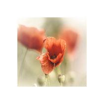 Mohnblüten in sanftem Licht von Karin Dederichs