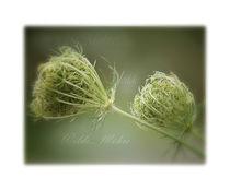 Blütentraum wilde Möhre von Karin Dederichs