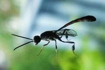 Insekt elegant von Marina von Ketteler
