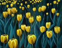Yellow Tulip Field von Anastasiya Malakhova