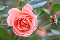 Rosa - Geisha by minnewater