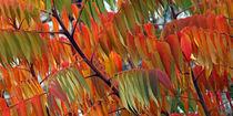 Blätter des Essigbaum (rhus typhina) im Herbst, leaves of staghorn sumac in autumn, indian summer von Dagmar Laimgruber
