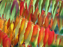 Blätter des Essigbaumes im Herbst(digitale Nachbearbeitung  (Leaves of staghorn sumac in autumn)indian summer by Dagmar Laimgruber