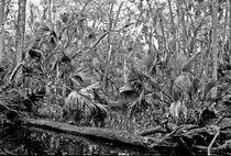 Black Water. Green Swamp Wildlife Management Area Polk County Florida. by chris kusik