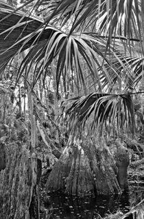 Cypress And Palm Canopy. Green Swamp Wildlife Management Area Polk County, Florida. von chris kusik