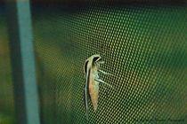Banded Sphinx Moth5 von Dan Richards