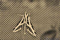 Banded Sphinx Moth3 by Dan Richards