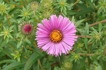 Violetter Stern von lorenzo-fp