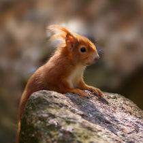 Squirrel, Eichhörnchen by Sabine Radtke