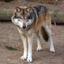 Der Wolf von Sabine Radtke