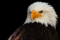 Weißkopfseeadler von foto-m-design