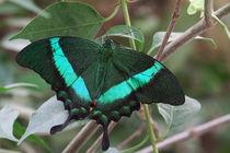 Papilio palinurus von foto-m-design