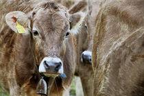 Jungkühe-Rinder, von pichris