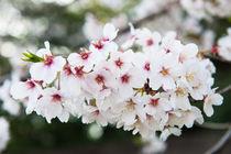 Cherry blossom  by holka
