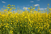 Oilseed rape field von holka