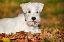 White Miniature Schnauzer puppy by holka
