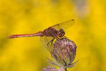 Rote Heidelibelle von foto-m-design