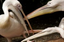 Pelikane von Stephan Zaun