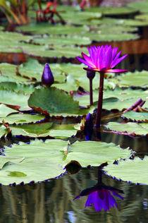 Water Lily by John Dauer
