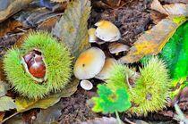 Chestnuts in husk with mushrooms von 7horses