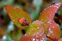 Frozen Klamath weed  von Leopold Brix