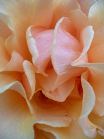 Abricot rose by Andrea Hensen