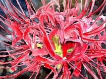 red spider lily flower by Derek McCrea