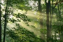 Lichtstrahlen im Wald, Light rays in the forest von Sabine Radtke