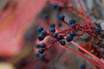 Weintrauben vor rotem Blattwerk von Martin Pepper