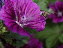 Biene im Anflug von Torsten Jäger