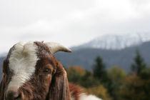 Schau mal wer da meckert, lustiges Ziegenfoto von Kathleen Follert