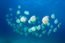 Longfin Batfish, Langflossen Fledermausfische, Platax teira by Norbert Probst