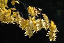 Lindenblüte von Elke Balzen