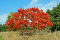 Akazie im Herbst by Eberhard Loebus