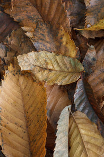Chestnut Leaves by David Tinsley